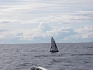 Wal Begegnung im Atlantik
